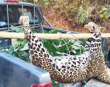 Man-eater leopard dies