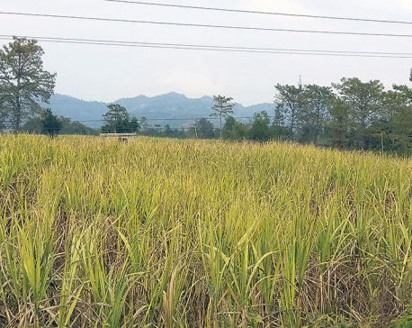 Farmers worried as sugarcane dries up in fields