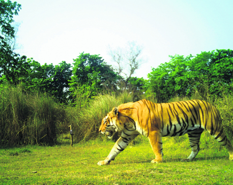Nepal poised to become first country to double tiger population