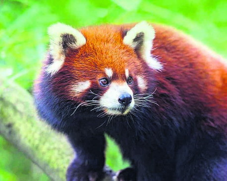 'Forest Guardian' for endangered red panda conservation