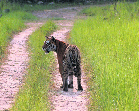 Nepal nears target of doubling tiger population