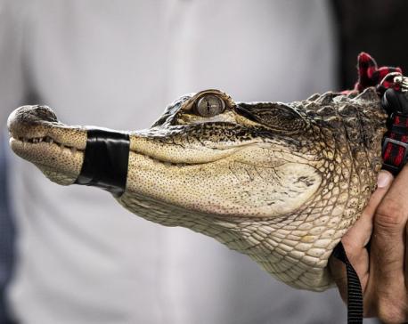 Chicago spent $33,600 on hunt for alligator in city park