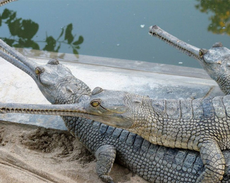 Endangered Gharial crocodile eggs hatched