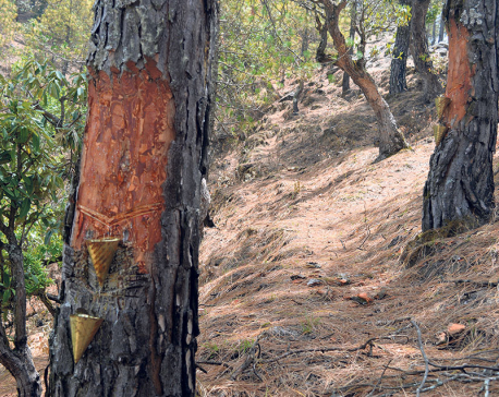 Pine forests of Baitadi not fine