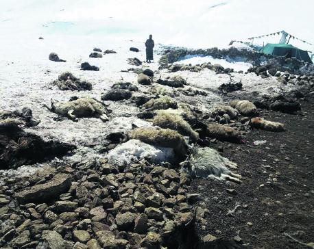 Snowfall in Upper Mustang kills 450 sheep, mountain goats