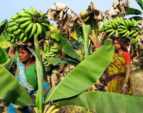 Banana farming catching on in Sunsari