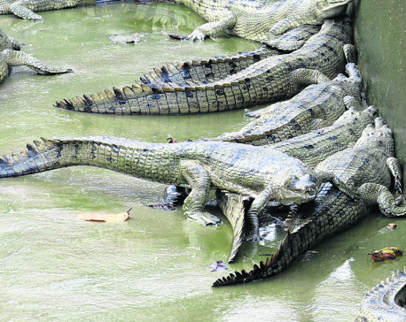 Fishing nets prove fatal for endangered gharials
