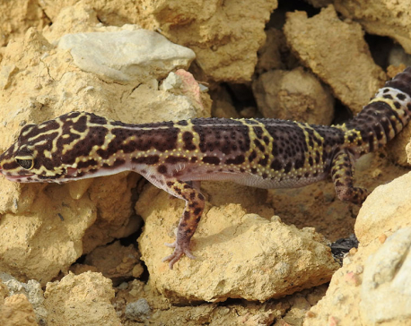 New species of reptile found in Nepal