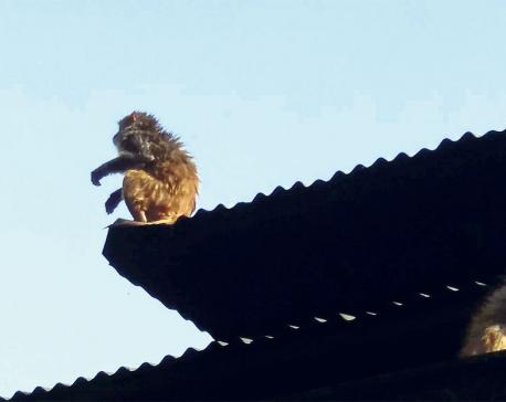 Monkey rampage a menace to heritage- Study