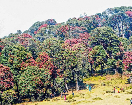 Province 1 home to over 30 species of rhododendron: Study