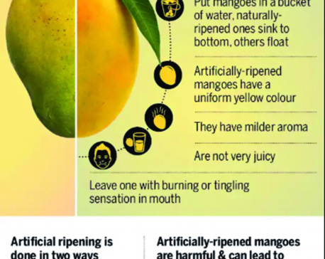 Infographics: Is your mango safe to eat?