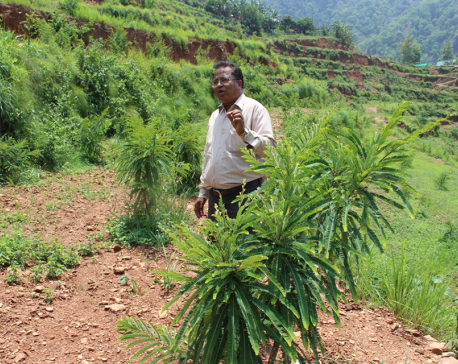 Nepal missing opportunity to earn from local herbs