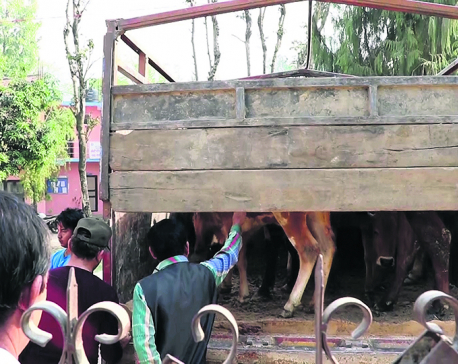 India-bound truck carrying old cattle seized