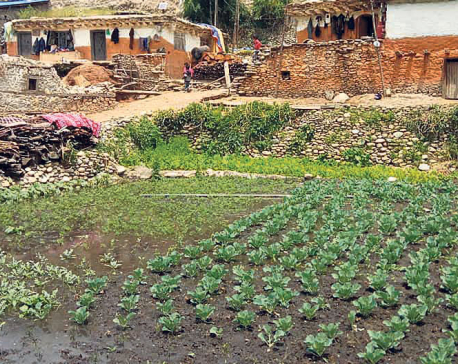 Vegetable farming getting popular in Jumla