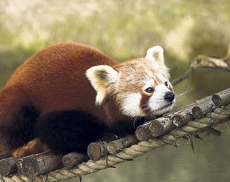 Forest fire in Pathivara threatens life of red pandas