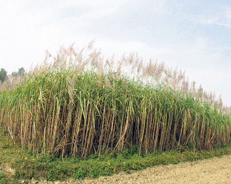 Sugarcane drying in fields, farmers worried