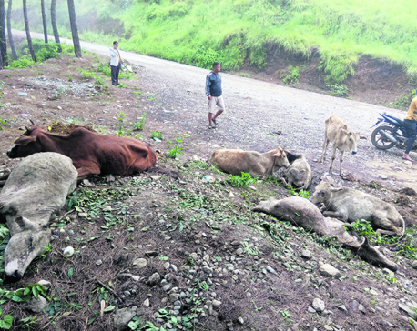Committees start probe into mysterious cow deaths