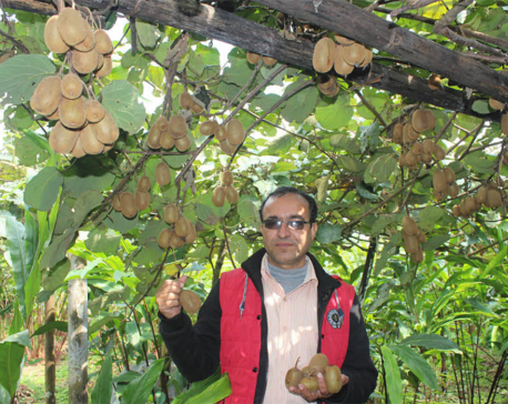 Ilam farmers hopeful of better kiwi fruit harvest