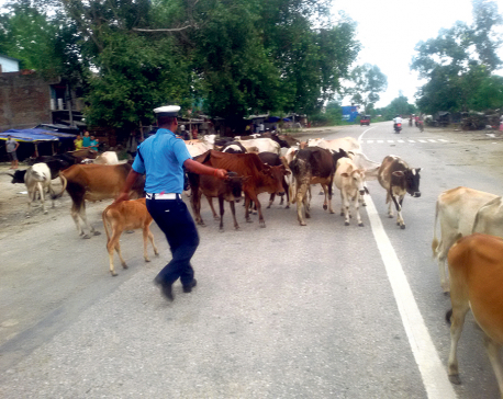 7 sent to custody over Surkhet cow deaths