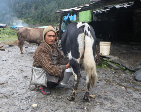 Yak farmers suffer as their livestock remain uninsured