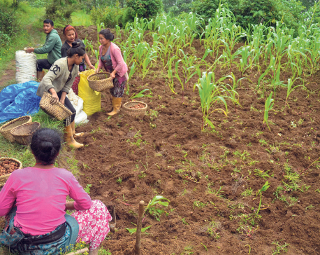 Eastern hills yet to see large-scale potato farming