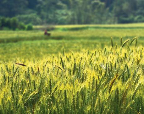 Paddy transplantation falls due to delayed monsoon