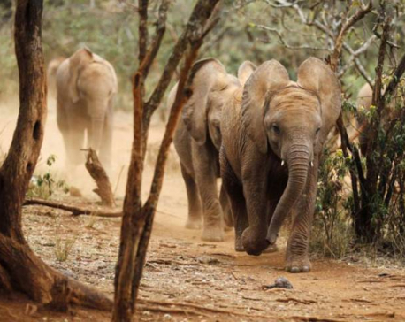 Wild elephants destroy sugarcane worth 800,000