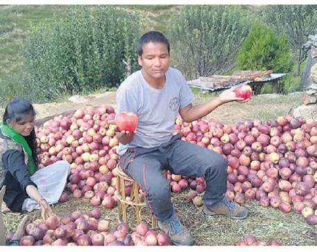 Ram Singh, guardian of Jumla apples