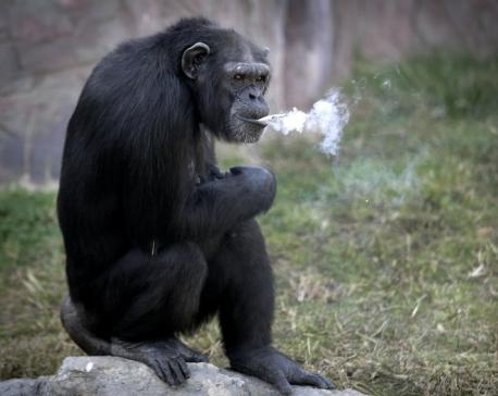 Meet Azalea the smoking chimp, new star at Pyongyang zoo