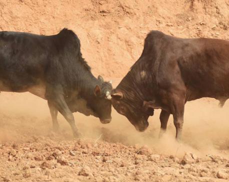 IN PICS: Bull-fighting Festival in Nuwakot's Taruka on occasion of Maghe Sankranti