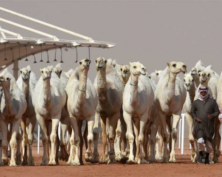 Camel botox in Saudi Arabia beauty pageant