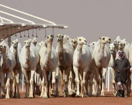 Camel botox in Saudi Arabia beauty pageant