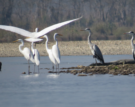 Migratory birds on shores of Rapti River (Photo feature)