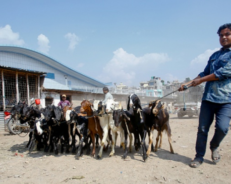 60,000 goats to be brought to Valley for Dashain