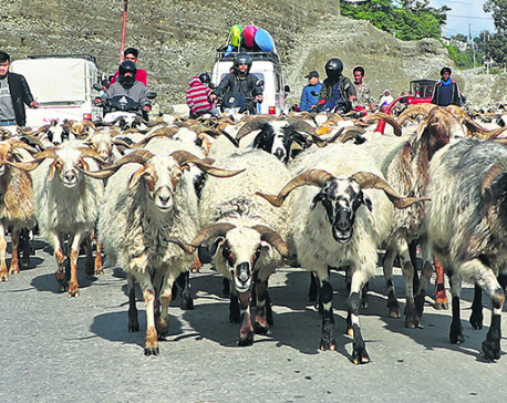 State-owned trading company less likely to sell mountain goats this Dashain