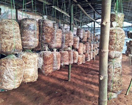 Dhading women attracted to mushroom farming