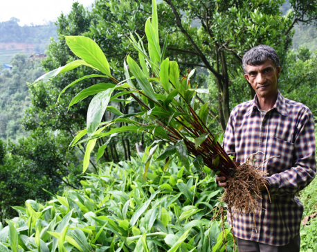 Cardamom farming: A success story from Kavre
