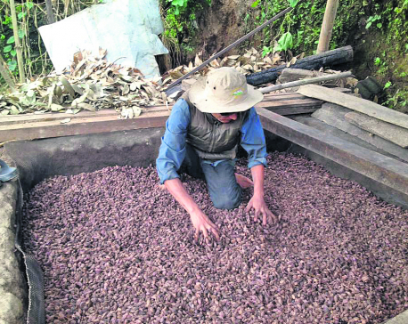 Farmers worried as cardamom prices fall