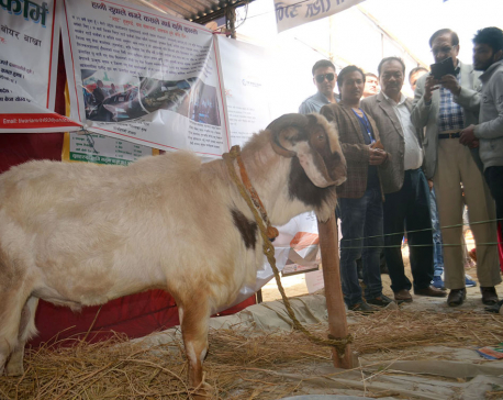 Male goat worth Rs 300,000 showcased at Nuwakot Mahotsav