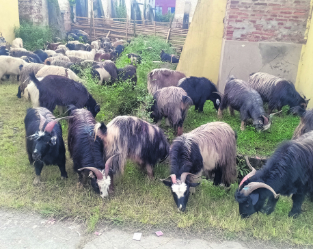 FMTC starts selling goats for Dashain at concessional price