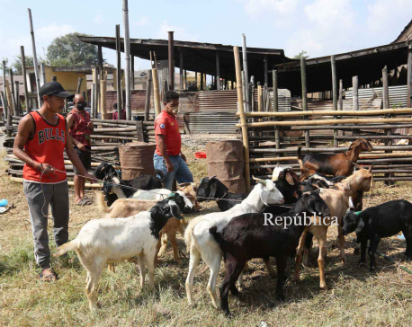 FMTC selling goats for Dashain at Rs 550 per kg