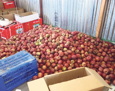 Italian apple gives new hope for Jumla farmers