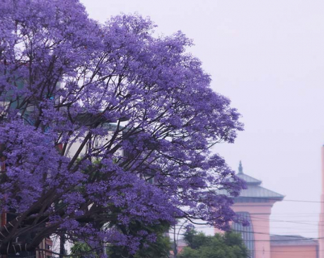 Jacaranda blooms at its best beautifying heart of Kathmandu (photo feature)