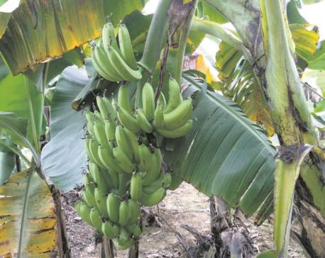 Commercial banana farming more profitable than vegetables