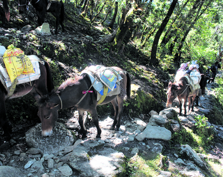 Mules still only means of transportation in rural Dhading