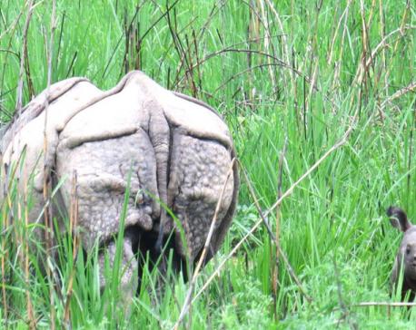 Septuagenarian killed in rhino attack in Chitwan