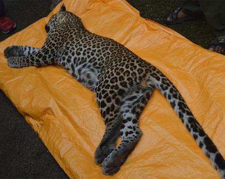 Stray leopard rescued after 3 days