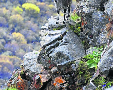 Number of Himalayan blue sheep on rise at Dhorpatan Hunting Reserve