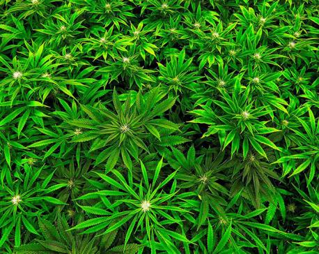 Police destroy marijuana worth Rs 80 million in Sindhuli
