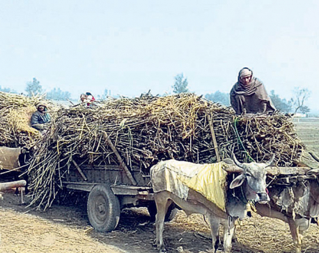 Closure of sugar mill affects Rautahat farmers